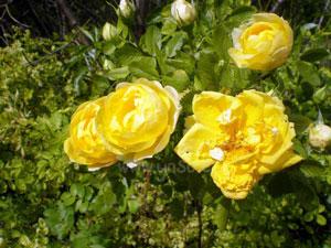 Rosas silvestres en el Camping